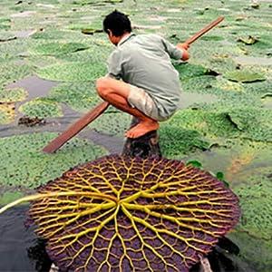 makhana farming