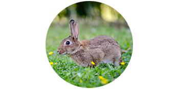 Rabbit scent Urine