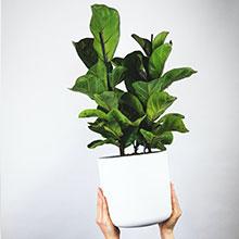 Fiddle Leaf Fig, Tree, Indoor Plant Food
