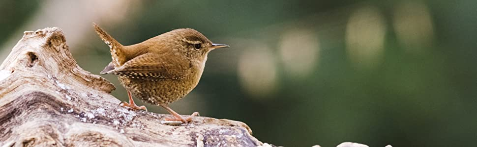 Small Wren looking for a home
