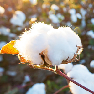 100%Cotton