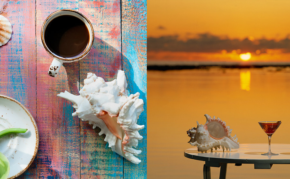 ad966c96cbc4 Large Natural Sea Shells, Murex Ramosus shells, Huge Ocean Conch 7-8 ...