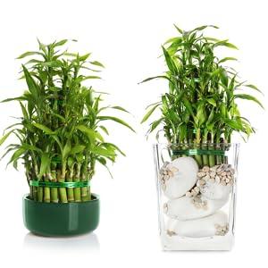 GreenLoop, Bamboo, Bamboo Food, money plants, fertilizer, Indoor plants