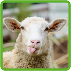 Lanolin sheep