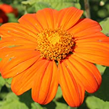 mexican sunflower seeds for planting
