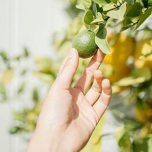 sourcing, kapiva, ayurveda, herbal, supplements, natural