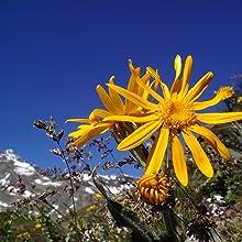Arnica Montana Flower Extract
