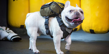 cool small dog puppy backpack