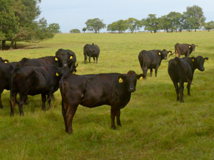 beef, cow, free range