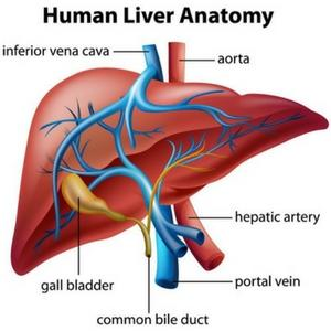 Promotes liver health