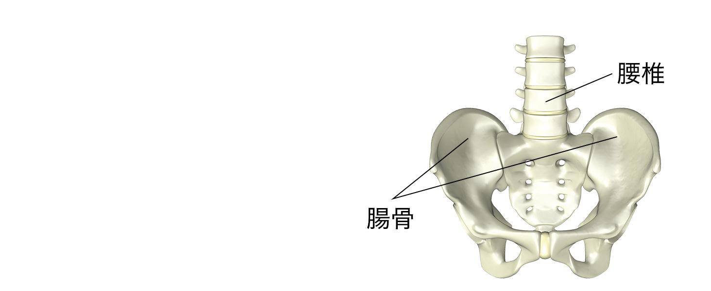 「腰椎」「腸骨」を支え、正しい姿勢をサポート
