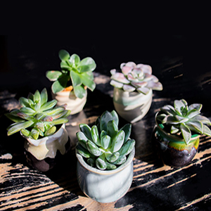 succulent plants 12 pack fully rooted in planter pots with soil real live. Black Bedroom Furniture Sets. Home Design Ideas