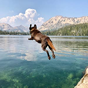 Chocolate Labrador jumping into clear lake