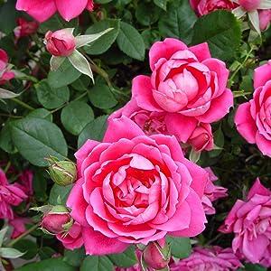 Pink;rose;flower;