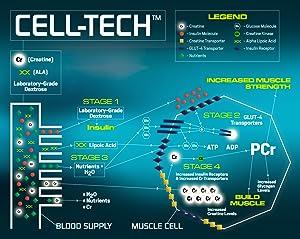celltech, how it works, creatine powder
