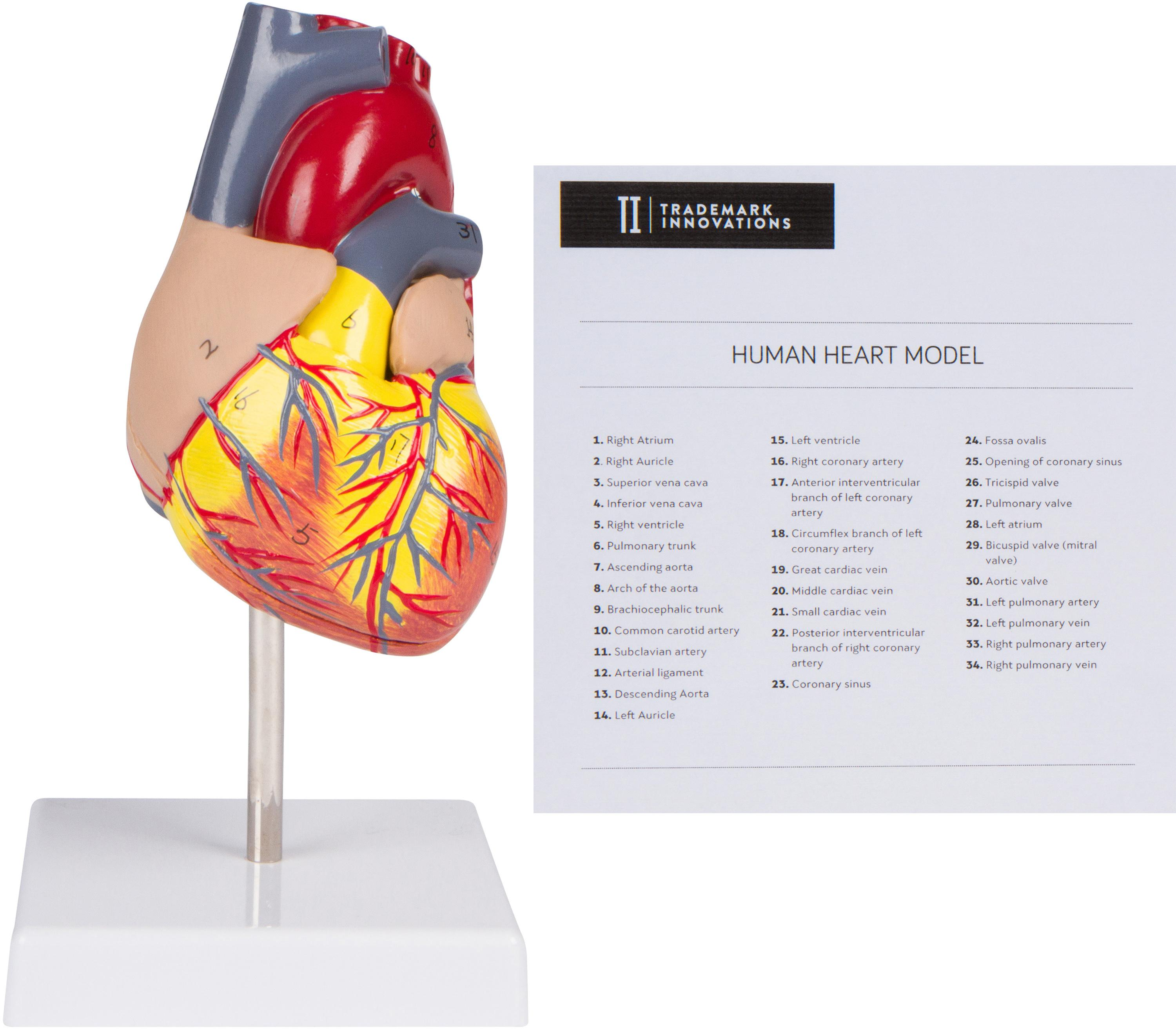 Amazon Trademark Innovations 43 2 Piece Human Heart Model