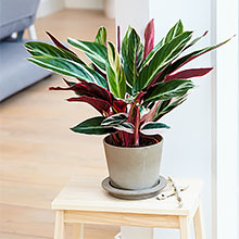 stromanthe, easy care, pet friendly, live plant, house, indoor, real, outdoor, shade, prayer, plants