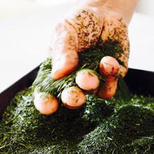 日本茶農家(カネジュウ農園) 渡辺知泰
