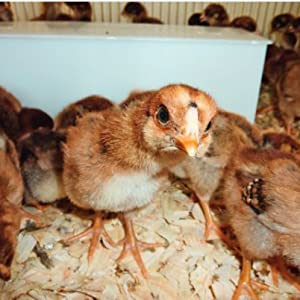Amazon com: How to Raise Chickens: Everything You Need to Know (FFA