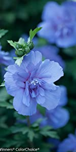 bluebeard, miss violet, blue chiffon ...