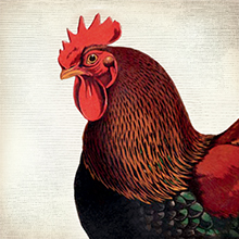 Chicken illustration showing how EPIC chicken bars are made from chickens raised without antibiotics