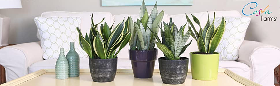 air purifier, house plant, indoor, home decor, shop succulents, living room, coffee table