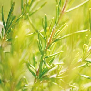Skin Food; Rosemary?