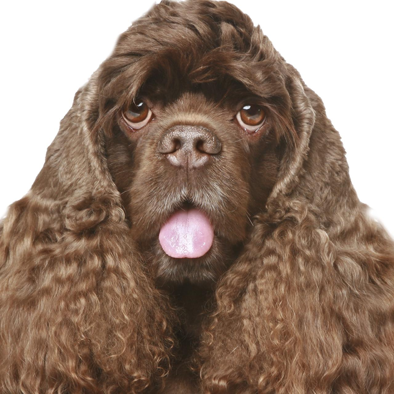 Amazon The Blissful Dog Cocker Spaniel Unscented Nose Butter