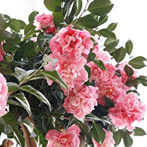 Amazon Com Brussel S Live Camellia Hot Flash Outdoor Bonsai Tree 10 To 14 Tall With Decorative Container Garden Outdoor