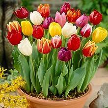 tulips, flower, spring bulb, bulb, tulip bulb