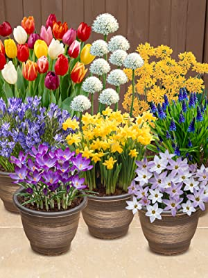 bulbs, bluebell, daffodil, tuplip, narcissi, allium, crocus, ipheion