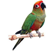The Conure Handbook, Gold-Capped Conures, Conures