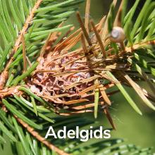 adelgids wooly kills bioadvanced bayer advanced sbm jobes tree spikes