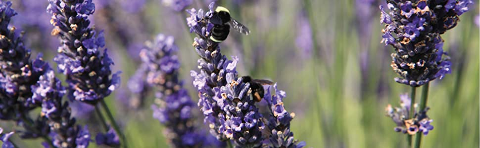 Field of Lavender and honey bees