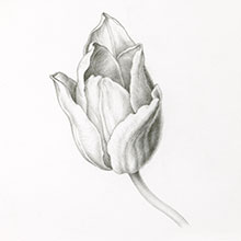 botanical, art, techniques, graphite, black, white, tulip