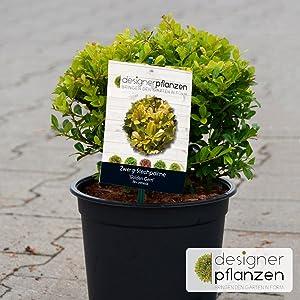 Feigenbaum Gustissimo ® Perretta® großfruchtig Pflanze 5 Liter Topf ca 30-40 cm