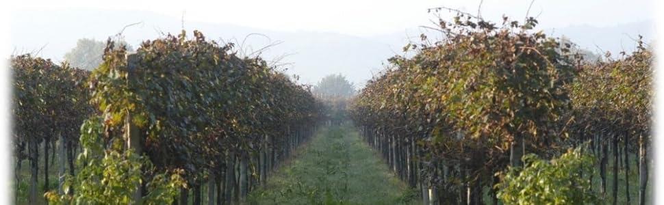 Vigneto; Materie Prime; Aceto Balsamico di Modena IGP; Uve; Balsamico; Acetaia Italia;