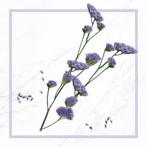Extrait de fleurs d'immortelle bleue