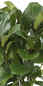Little Fiddle Fig
