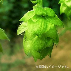 北海道富良野産ホップを一部使用、繊細で洗練された香り。