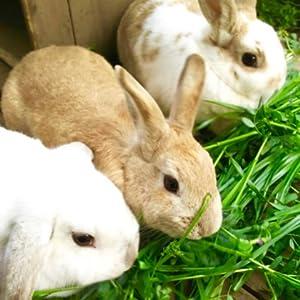 ウサギ 牧草