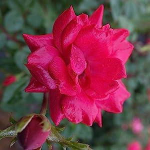 red;flower;rose
