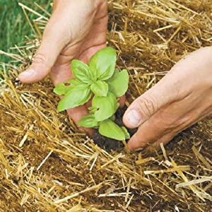 Seedlings may be planted directly into a hole in the straw bale. Seeds planting germination.