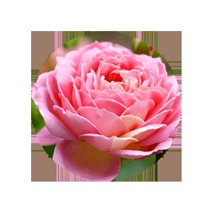 rose stem cells