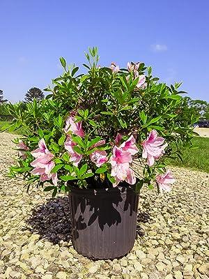 George Tabor Azalea flowering shrub, pink flowers, fuschia flowers, purple flowers
