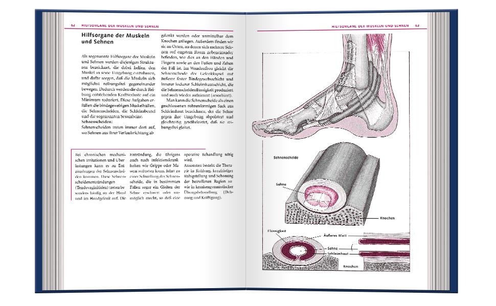 Hilfsorgane der Muskeln und Sehnen