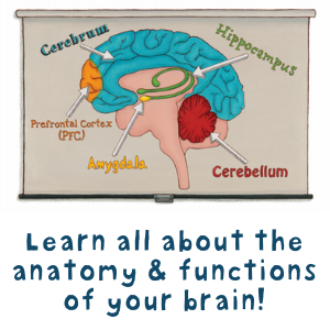 Learn all about the anatomy & functions of your brain!