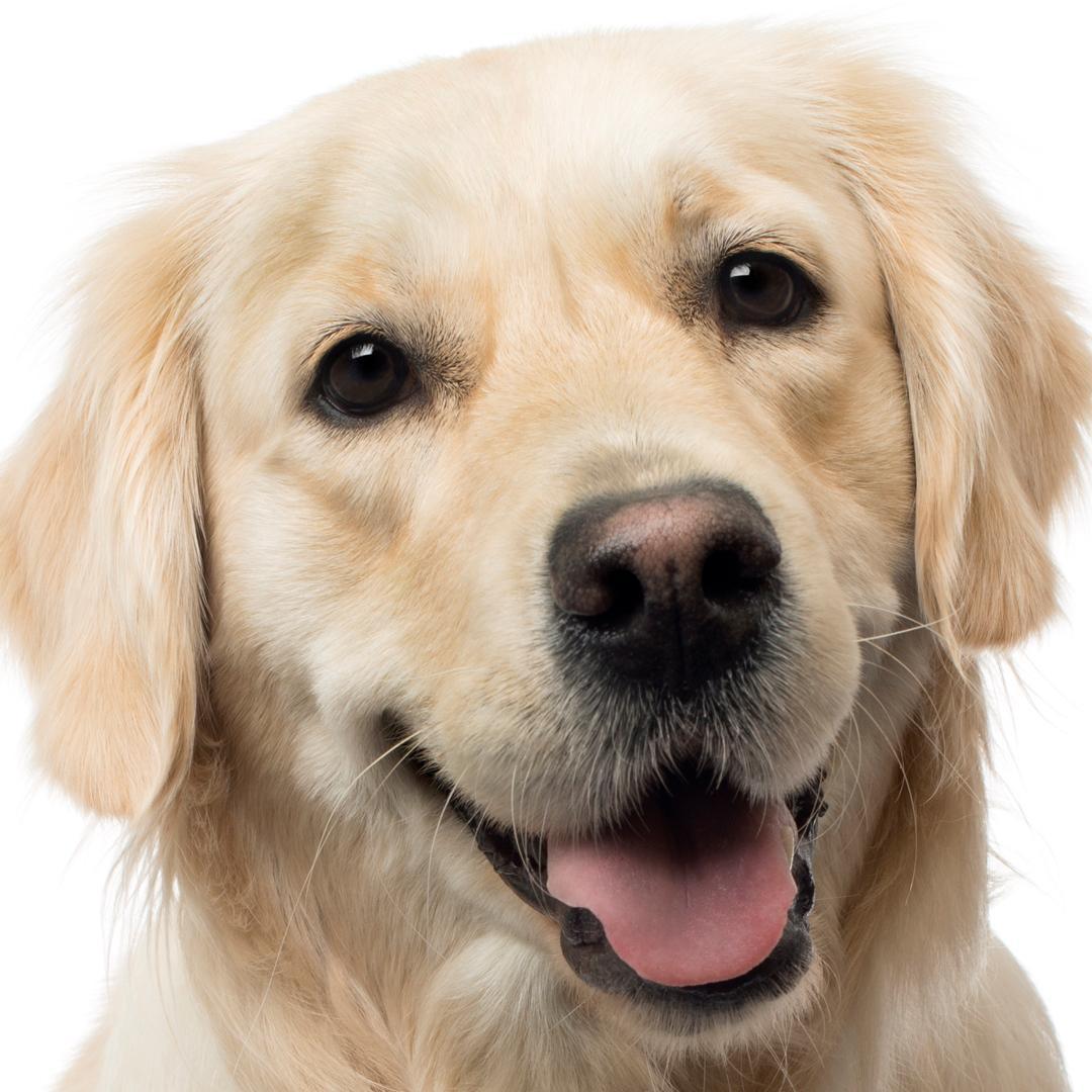 Amazon.com : The Blissful Dog Golden Retriever Nose Butter ...