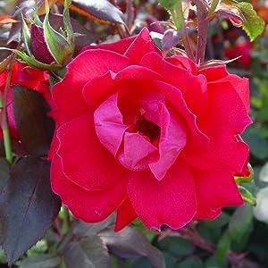 rose;flower;red;