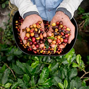 100% Arabica coffee beans displayed in the hands of a coffee grower standing in a coffee field